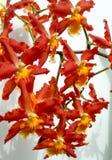 floral orchids ανασκόπησης Στοκ Φωτογραφίες