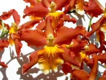 floral orchids ανασκόπησης Στοκ φωτογραφίες με δικαίωμα ελεύθερης χρήσης