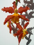 floral orchids ανασκόπησης Στοκ Εικόνες