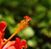Floral organs of hibiscus on green background. Internal floral organs of hibiscus Royalty Free Stock Photo