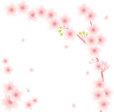 Floral Ornament - Sakura. Sakura flowers on the white ground Royalty Free Stock Images