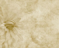 Floral paper or parchment. Big dahlia flower on paper or parchment Royalty Free Stock Photography
