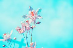Floral pastel beautiful background with colorful pink columbine stock photos