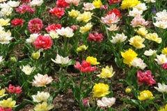 Floral pattern. Multicolored tulips, Keukenhof gardens Royalty Free Stock Images