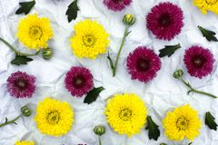 Floral Pattern from burgundy and yellow chrysanthemum. Burgundy and yellow chrysanthemum on crumpled gray paper background. Floral Pattern Royalty Free Stock Images