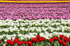 Floral Pattern Field of Colorful Tulips. Rows of colorful bands of tulips fill in a field the frame royalty free stock image