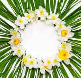 Floral pattern, round frame of daffodil flowers on a background of green leaves with white space for text Stock Photography