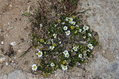 Tiny chamomile flowers on the sandy background. A floral pattern of tiny chamomile flowers in the centre of composition Royalty Free Stock Images