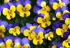 Free Floral Pattern With Violet And Yellow Multicolor Pansies, Yellow And Violet Pansy Out Of Own Garden. Flowers Wall Background. Royalty Free Stock Images - 185737549