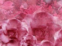 Floral pink background from roses. Flower composition. Flowers with water droplets on petals. Close-up. Nature stock photos