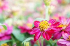 Floral pink flowers zinnia in the colorful garden Royalty Free Stock Image