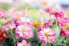 Floral pink flowers zinnia in the colorful garden.  Royalty Free Stock Image