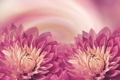 Floral pink-white beautiful background.  Flowers pink dahlias on a twhite-pink-orange background. Greeting card.  Flower compositi. On. Nature Stock Image
