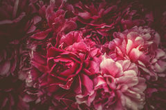 Floral purple background of peonies stock image