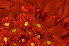 Floral red background of flowers of dahlia. Bright flower arrangement. A bouquet  of  red dahlias. Royalty Free Stock Photo
