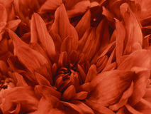 Floral red beautiful background of Chrysanthemums. Wallpapers of red flowers.  Closeup, Royalty Free Stock Image