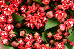 Floral red flower bouvardia for interior decoration and bouquets. Texture Stock Photo