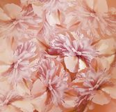 Floral red-pink background. Bouquet of flowers of peonies. Pink-white petals of the peony flower. Close-up. Royalty Free Stock Photography