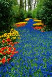 Floral river. Field in Keukenhof, Netherlands stock photography