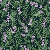 Floral seamless pattern with blooming rosemary on black background. Backdrop with wild aromatic herb. Botanical vector. Illustration in antique style for royalty free illustration