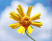 Floral serenity. Yellow joyful flower on blue sky background royalty free stock photos