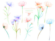 A floral set with the  watercolor cosmos flowers, hand drawn. On a white background, for self-compilation of the bouquets and ornaments Royalty Free Stock Photography