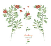 A floral set with the  watercolor cowberry, hand drawn on a white background Royalty Free Stock Image