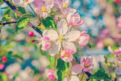 Floral spring background blossom of apple tree Royalty Free Stock Photos