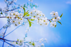 Floral spring background branch of cherry tree Royalty Free Stock Photo