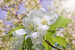 Floral spring background, branches of blossoming apple trees with soft focus in sun rays. Elegant spring image on blurred background stock photos