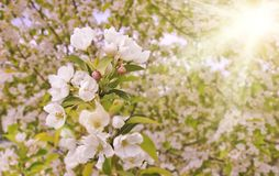 Floral spring background, branches of blossoming apple trees with soft focus in sun rays. Elegant spring image on blurred royalty free stock photo