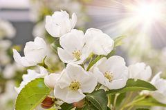 Floral spring background, branches of blossoming apple trees with soft focus in sun rays. Elegant spring image on blurred royalty free stock image
