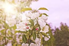 Floral spring background, branches of blossoming apple trees with soft focus in sun rays. Elegant spring image on blurred royalty free stock photos