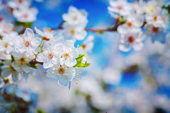 Floral spring background flowers of cherry tree Royalty Free Stock Photo