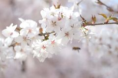 Floral spring background, soft focus. Branches of blossoming bushes in spring outdoors in vintage turquoise pastel colors. Delicate elegant airy artistic image Stock Image
