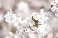 Floral spring background, soft focus. Branches of blossoming bushes in spring outdoors in vintage turquoise pastel colors. Delicate elegant airy artistic image Royalty Free Stock Image