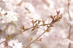 Floral spring background, soft focus. Branches of blossoming bushes in spring outdoors in vintage turquoise pastel colors. Delicate elegant airy artistic image Royalty Free Stock Photography