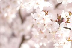 Floral spring background, soft focus. Branches of blossoming bushes in spring outdoors in vintage turquoise pastel colors. Delicate elegant airy artistic image Stock Photo