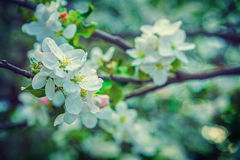Floral spring background white flowers of Stock Images