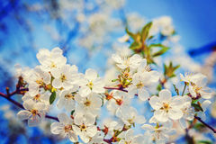 Floral spring background white flowers of Stock Image