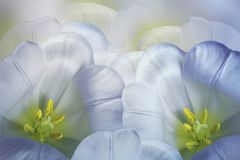 Floral spring blue-white background.  Flowers pink tulips blossom. Close-up. Greeting card. Stock Photos