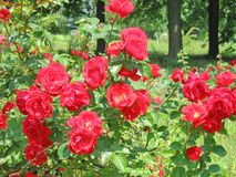 Floral summer landscape background with red roses stock photography