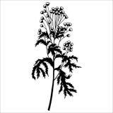 Floral tansy διανυσματική απεικόνιση eps10 εγκαταστάσεων Στοκ Φωτογραφίες