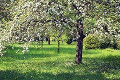 Floral texture, apple tree with white flowers in garden Stock Images
