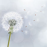 Floral trendy background with flower dandelion Royalty Free Stock Images