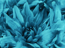 Floral turquoise beautiful background of Chrysanthemums. Wallpapers of turquoise flowers.  Closeup, Stock Images
