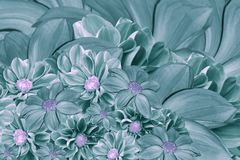 Floral turquoise-pearl background of flowers of dahlia. Bright flower arrangement. A bouquet  of  turquoise dahlias. Stock Photos