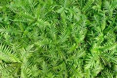 Floral vert naturel de feuilles de fougères Photos libres de droits