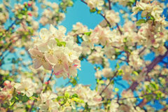 Floral view blossom of apple tree on blurred sky Royalty Free Stock Images