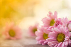 Floral vintage background with gerbera flowers on wooden backdro Stock Photo